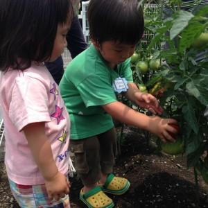 野菜収穫6.15①