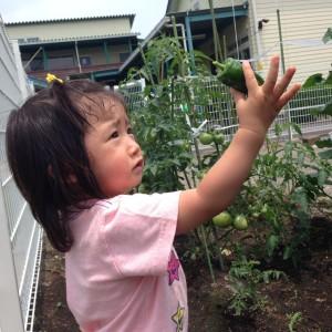 野菜収穫6.15③