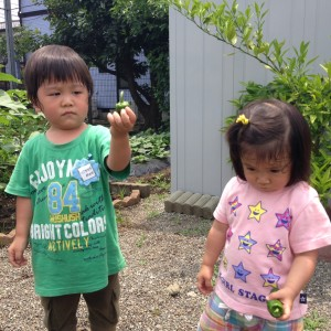 野菜収穫6.15④