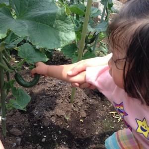 野菜収穫6.15⑥