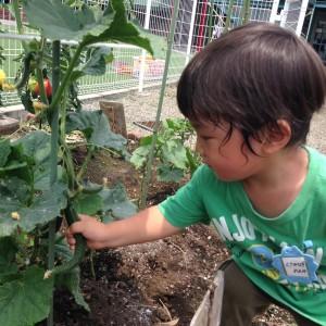 野菜収穫6.15⑤