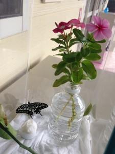 蝶の成長10.6①
