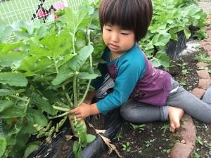 大根の収穫10.23②