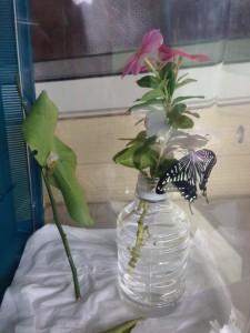 蝶の成長10.6②