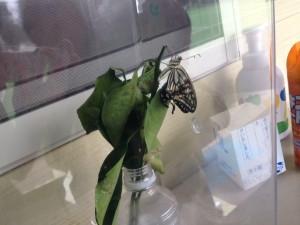 蝶の成長10.5④