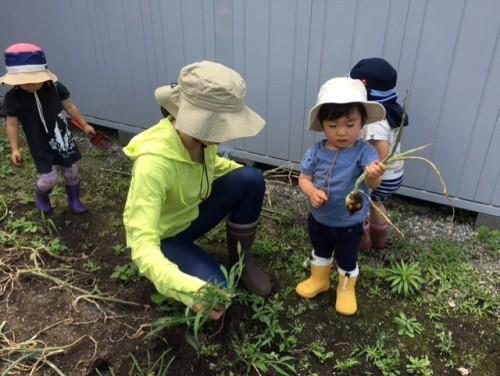 玉ねぎ収穫④