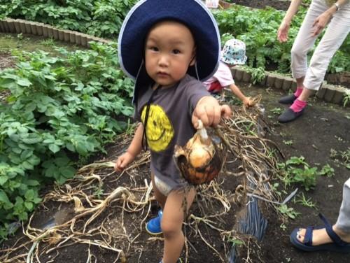 玉ねぎ収穫①
